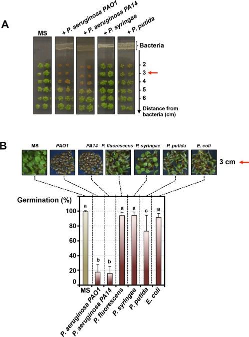 small resolution of pseudomonas aeruginosa releases a germination repressive activity gra