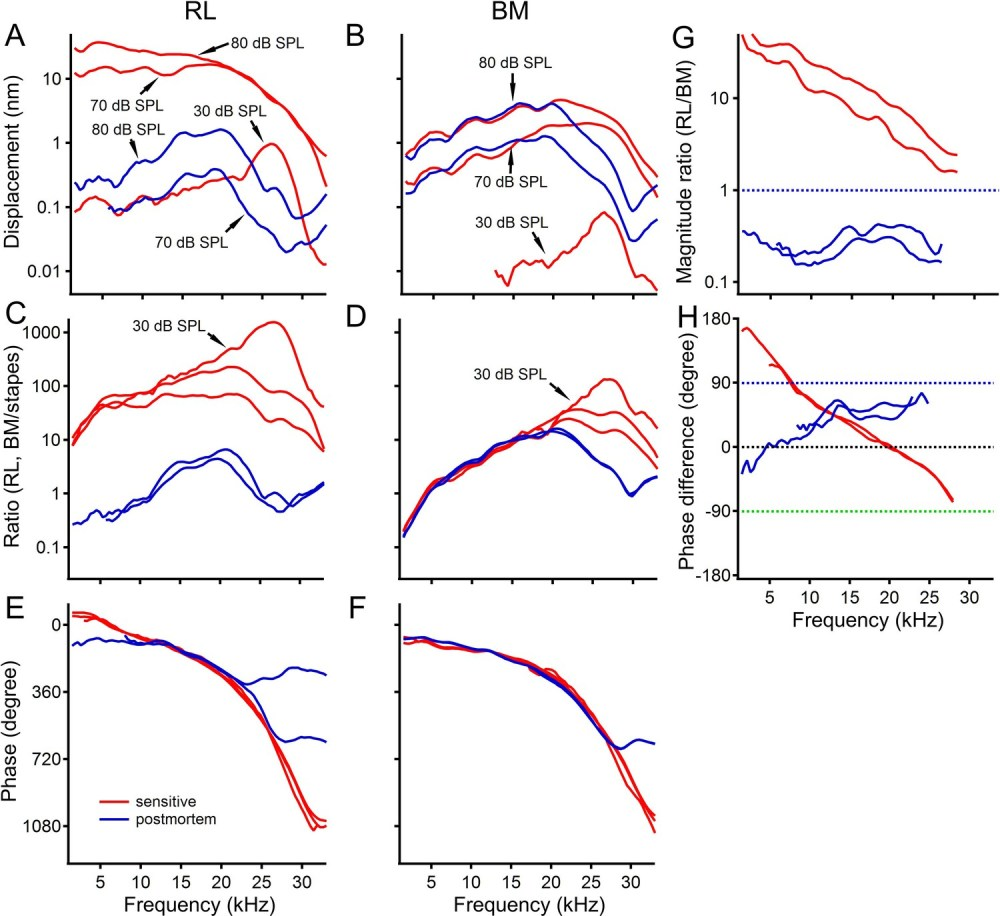 medium resolution of postmortem changes in reticular lamina and basilar membrane vibrations
