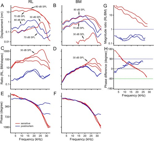 small resolution of postmortem changes in reticular lamina and basilar membrane vibrations