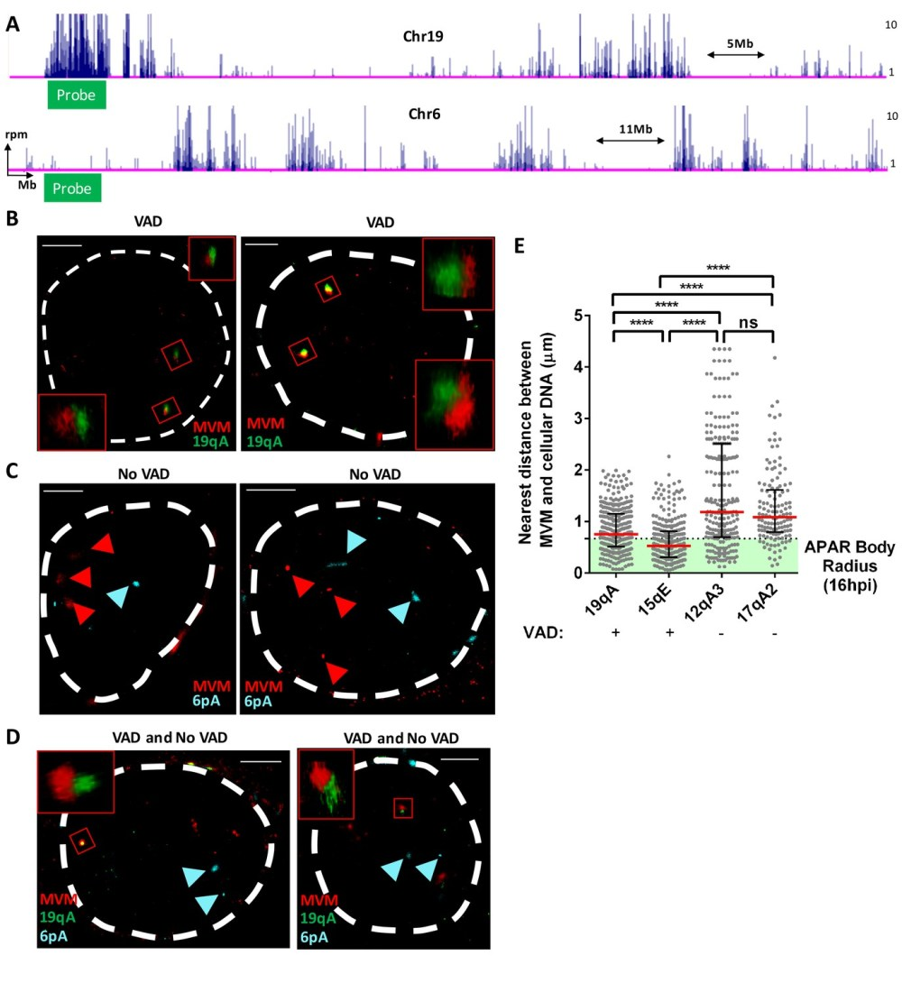 medium resolution of fish assays confirmed that mvm localized with cellular sites of dna damage