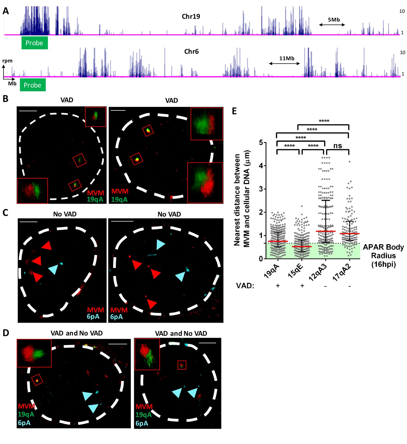 hight resolution of fish assays confirmed that mvm localized with cellular sites of dna damage