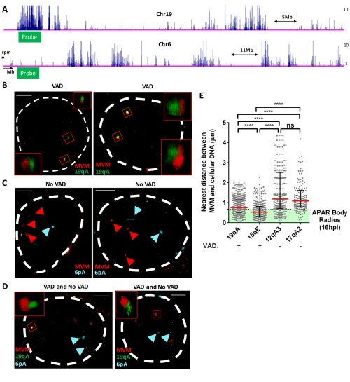 small resolution of fish assays confirmed that mvm localized with cellular sites of dna damage