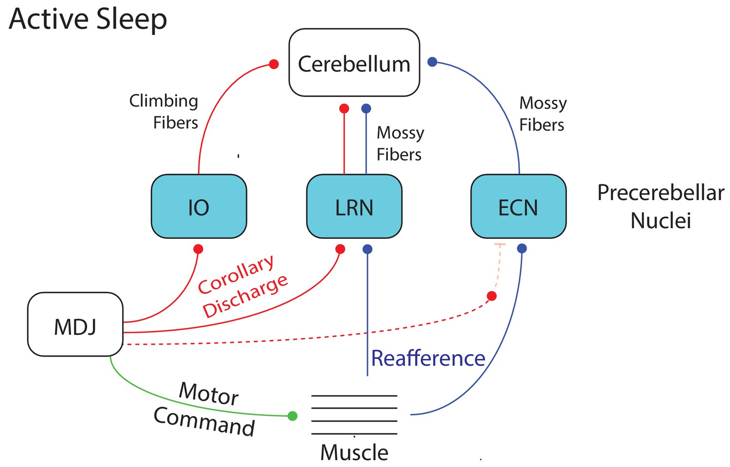 hight resolution of summary diagram depicting the flow of twitch related activity in the cerebellar system during active sleep in week old rats