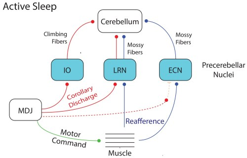 small resolution of summary diagram depicting the flow of twitch related activity in the cerebellar system during active sleep in week old rats