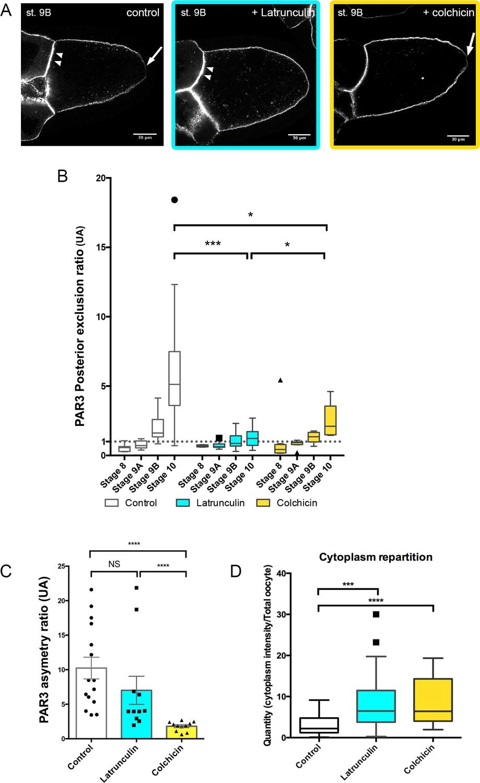 hight resolution of cytoskeleton involvement in par3 polarity