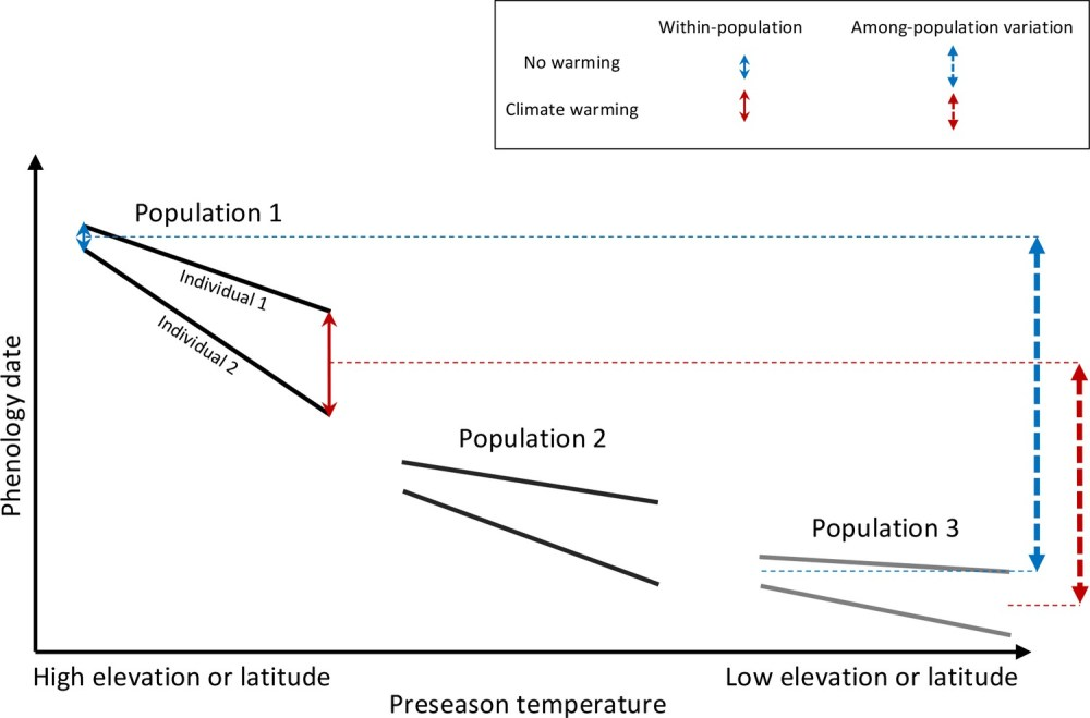 medium resolution of schematic representation of within and among population phenological synchrony in response to climate warming