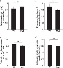 quantitation of cellular extensions reveals no significant differences between wild type and wnt11 mutant nephron progenitors  [ 1282 x 1338 Pixel ]