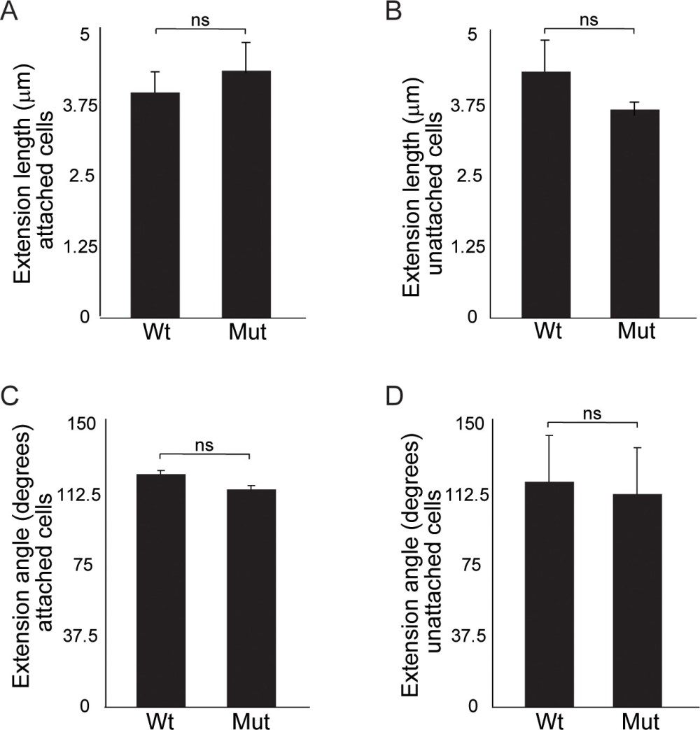 medium resolution of quantitation of cellular extensions reveals no significant differences between wild type and wnt11 mutant nephron progenitors