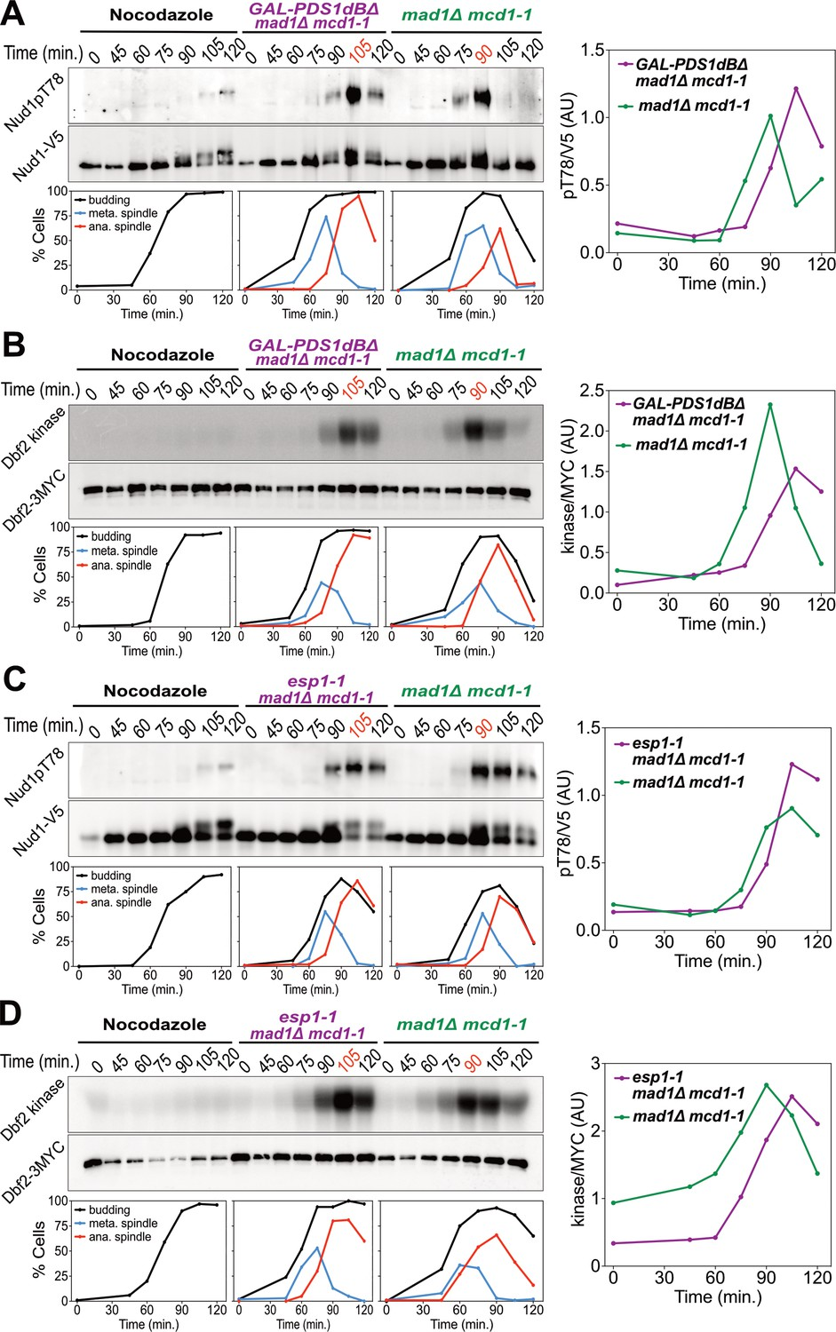 hight resolution of securin degradation and separase function promote men activation