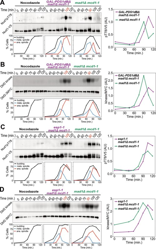 small resolution of securin degradation and separase function promote men activation