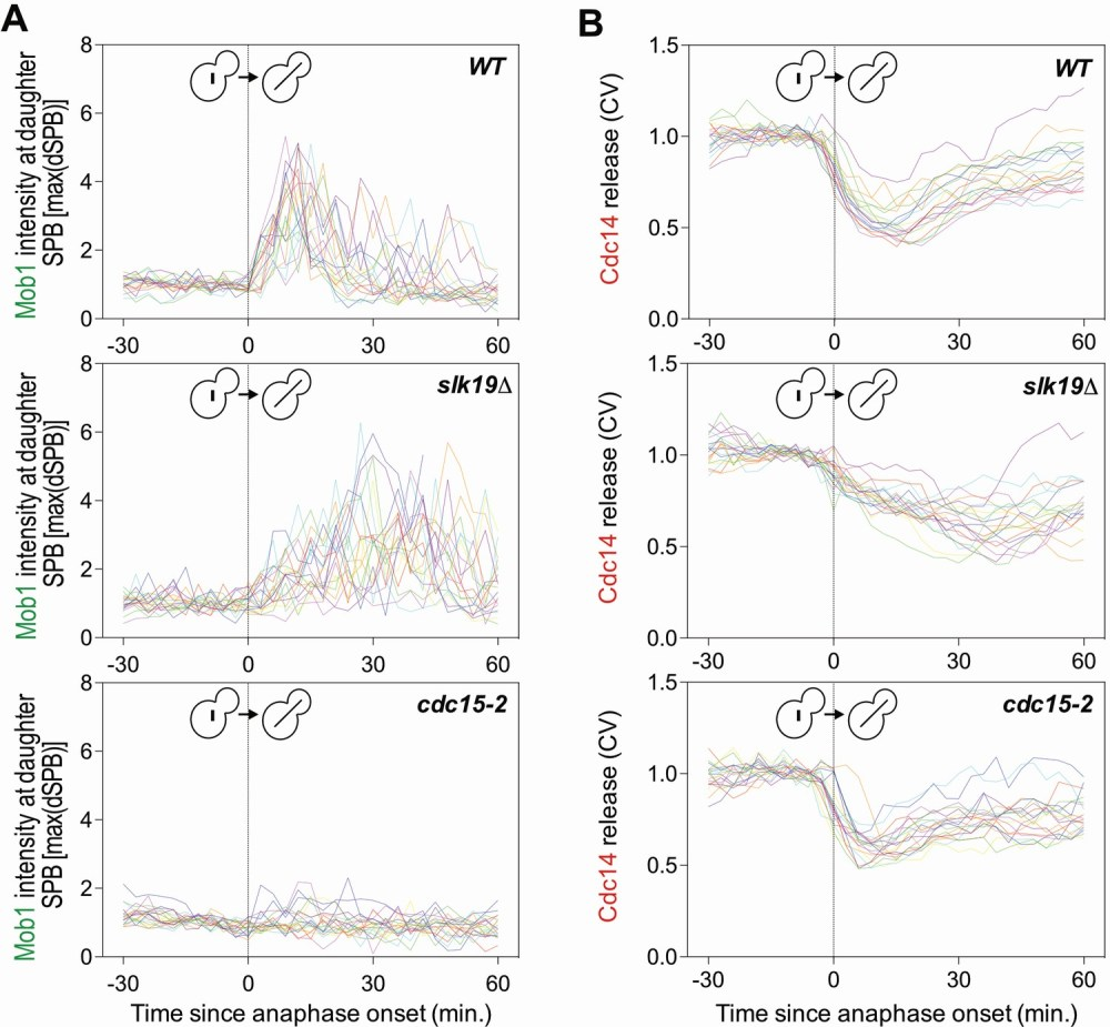 medium resolution of deletion of slk19 delays men activation and cdc14 release from the nucleolus