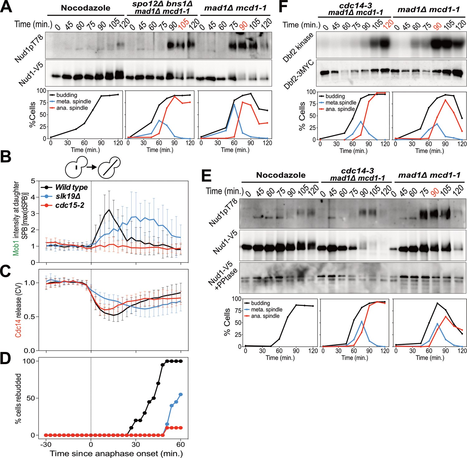 hight resolution of the fear network promotes men signaling by activating cdc14