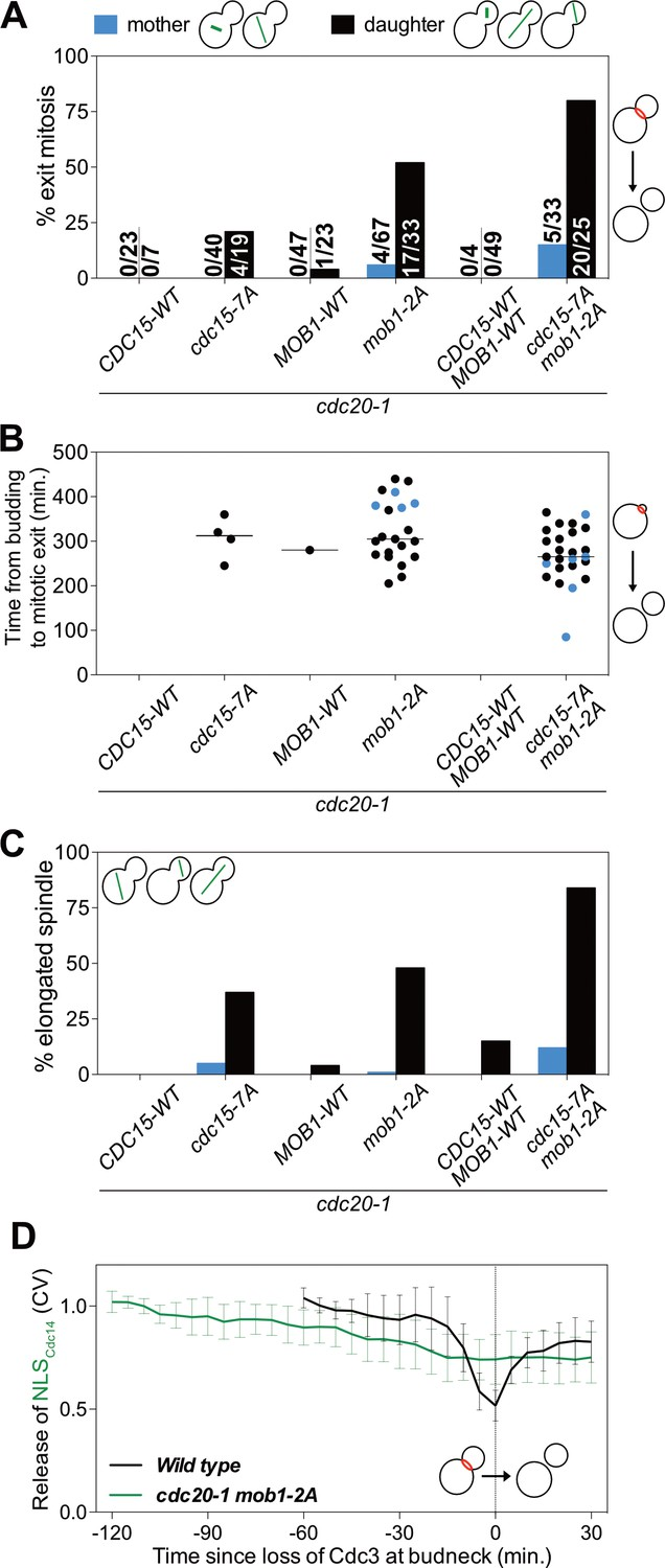 hight resolution of cdk activity inhibits the men by phosphorylating cdc15 and mob1