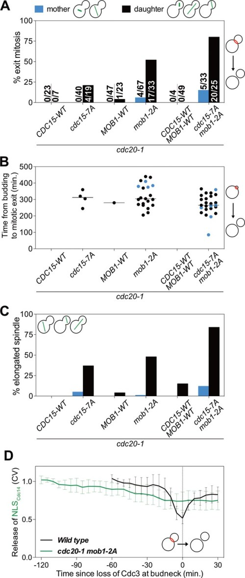 small resolution of cdk activity inhibits the men by phosphorylating cdc15 and mob1