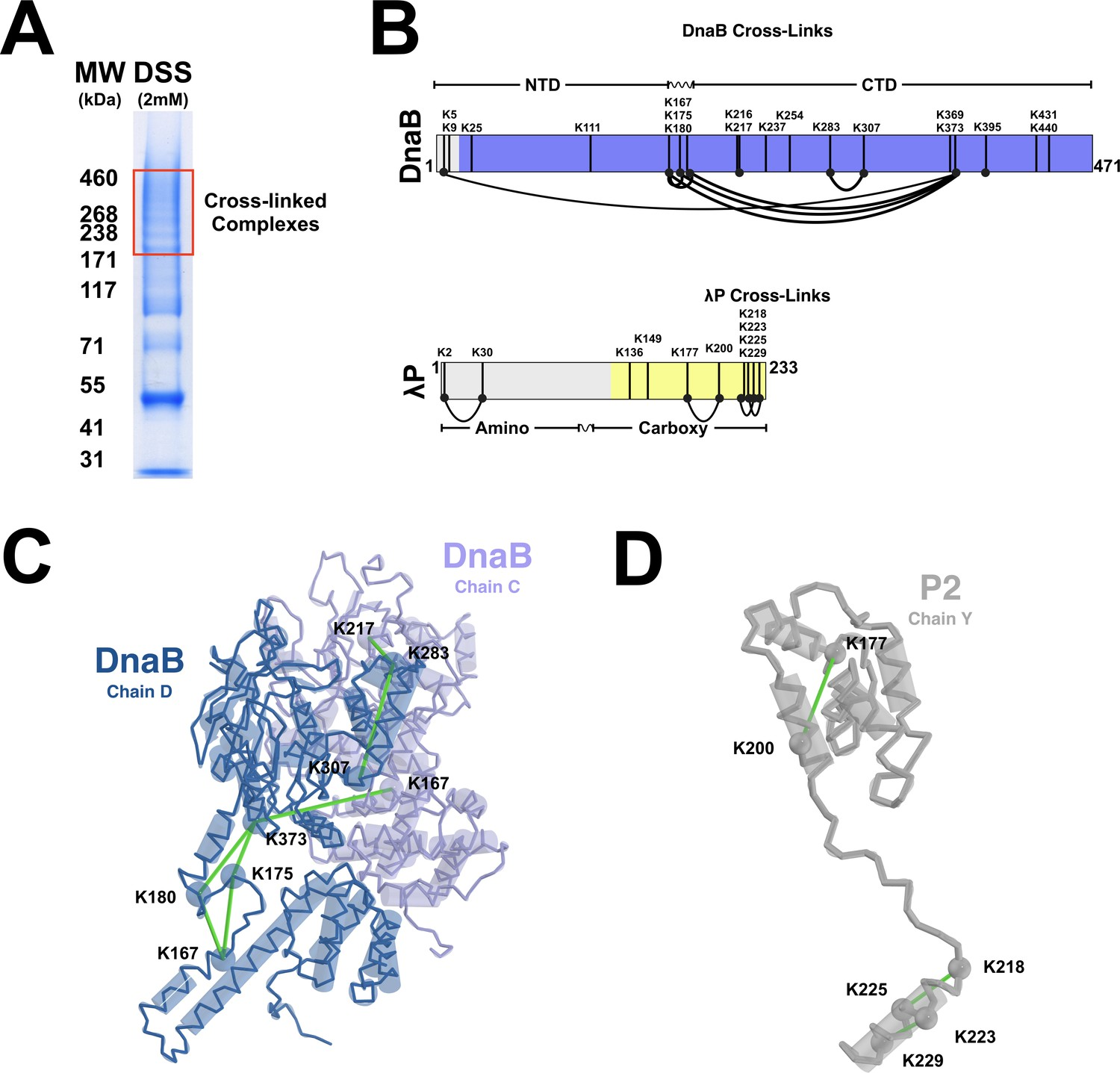 hight resolution of cross linking mass spectrometry of the dnab p complex