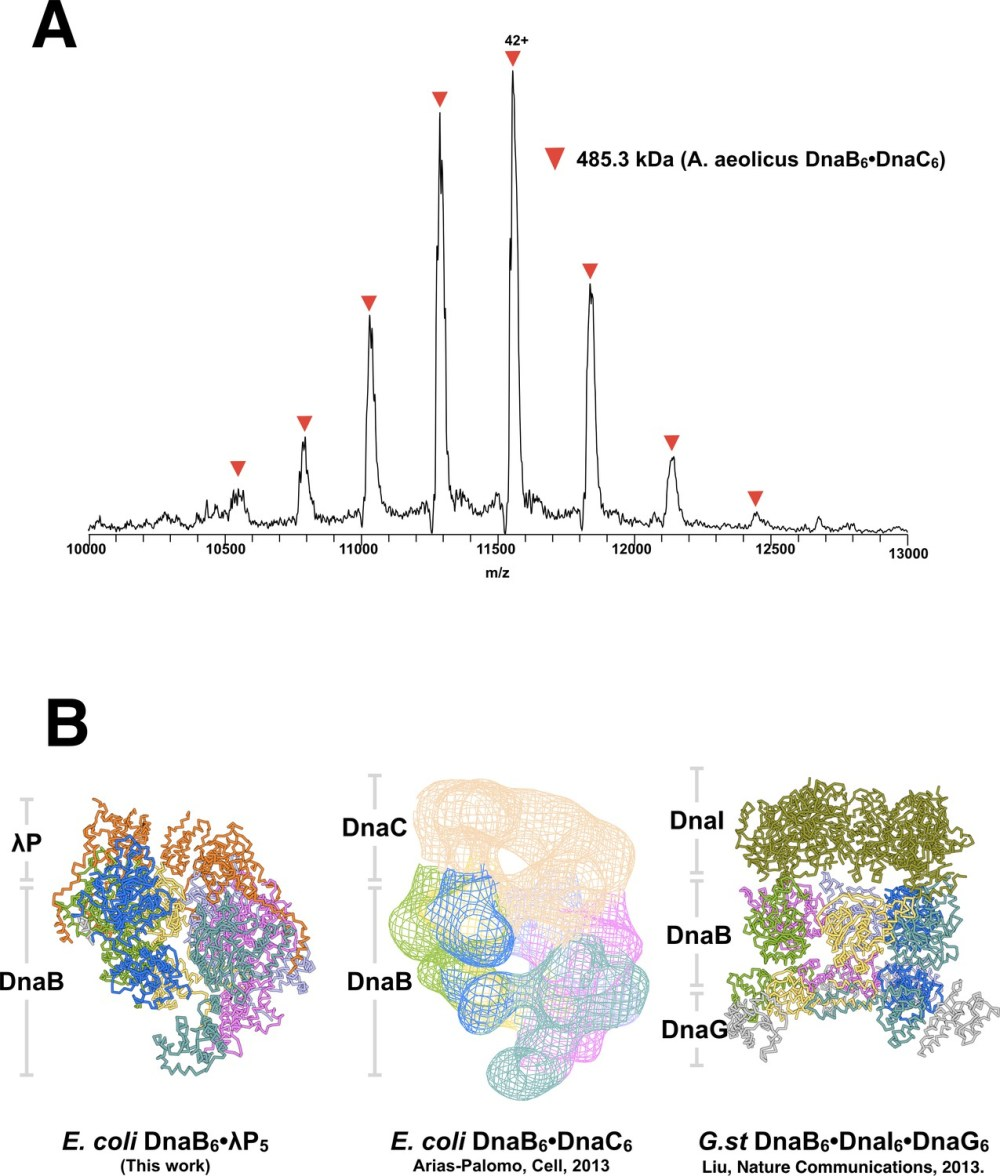 medium resolution of comparison of bacterial helicase helicase loader complexes