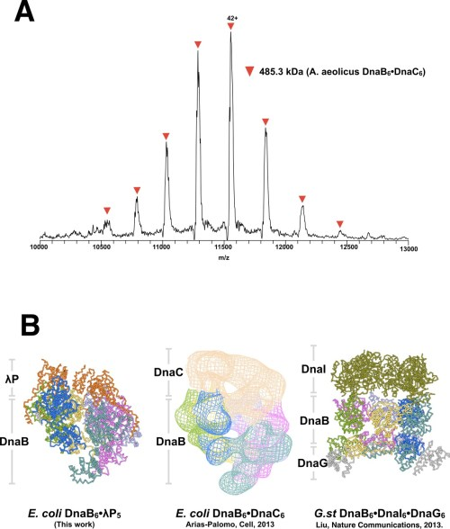 small resolution of comparison of bacterial helicase helicase loader complexes