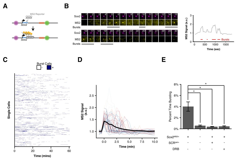 Live-cell imaging reveals enhancer-dependent Sox2