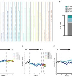 cbf1 venus dynamics in morula to blastocyst transition  [ 1500 x 1205 Pixel ]