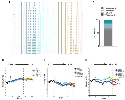 small resolution of cbf1 venus dynamics in morula to blastocyst transition