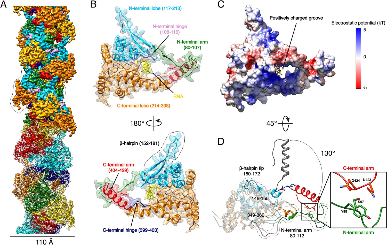 High resolution cryo-EM structure of the helical RNA-bound Hantaan ...