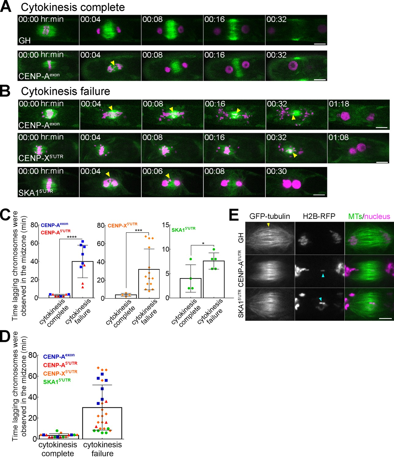 hight resolution of lagging chromosomes in anaphase induce cytokinesis failure