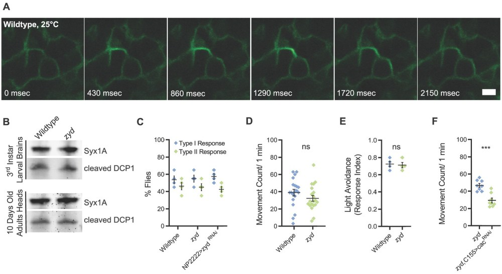 medium resolution of mutations in a cortex glial nckx generate stress induced seizures without affecting brain structure or baseline neuronal function