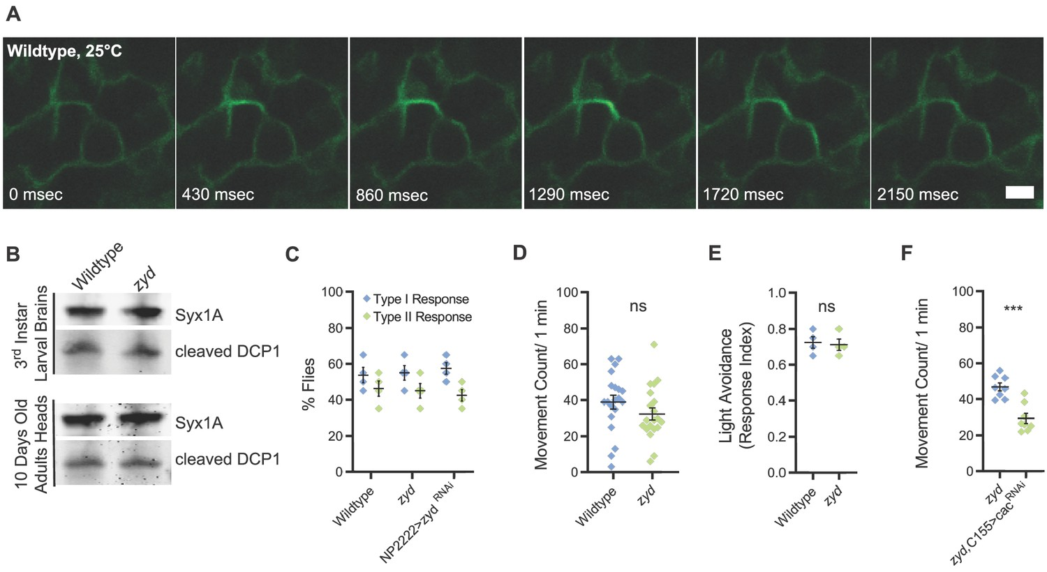 hight resolution of mutations in a cortex glial nckx generate stress induced seizures without affecting brain structure or baseline neuronal function