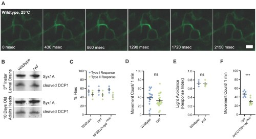 small resolution of mutations in a cortex glial nckx generate stress induced seizures without affecting brain structure or baseline neuronal function