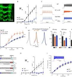 firing rate homeostasis in drosophila motoneurons  [ 1500 x 1419 Pixel ]