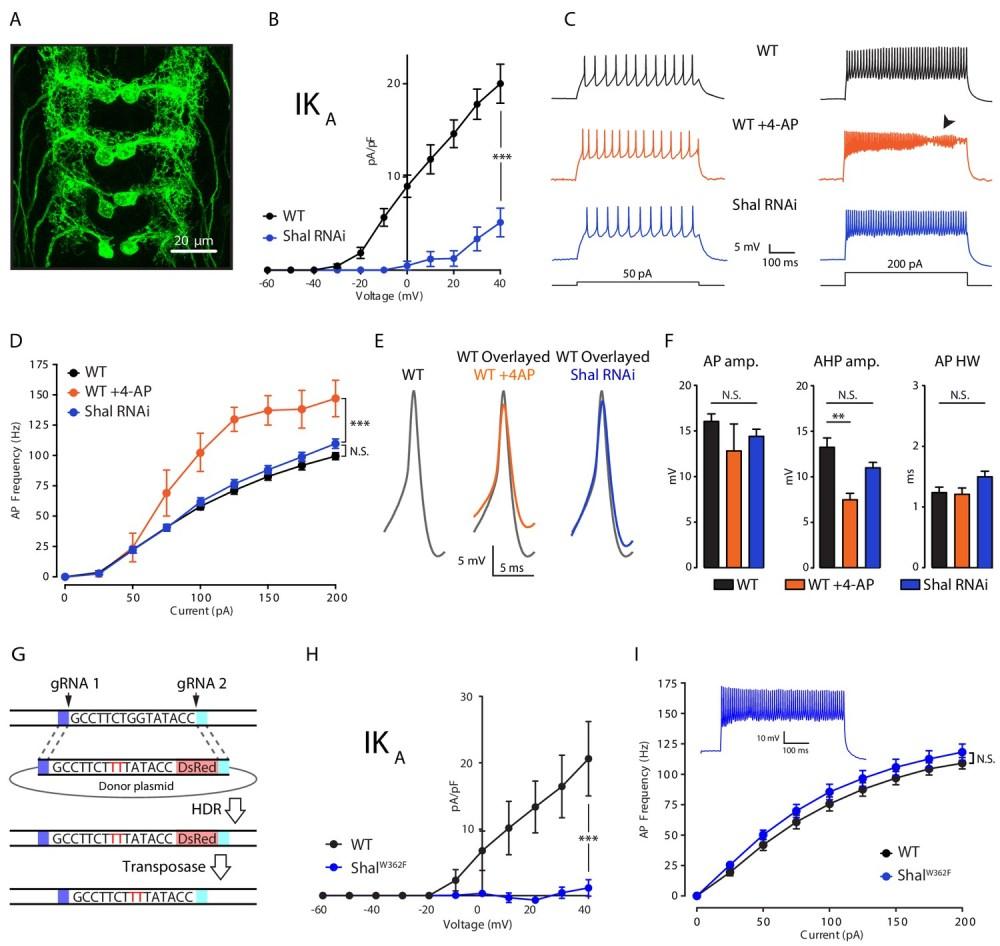 medium resolution of firing rate homeostasis in drosophila motoneurons