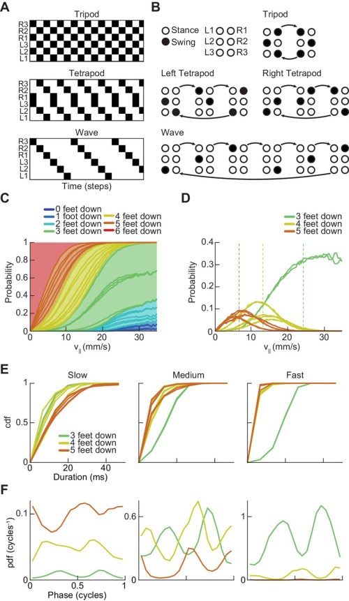 small resolution of drosophila use a two cycle limb coordination pattern across all walking speeds
