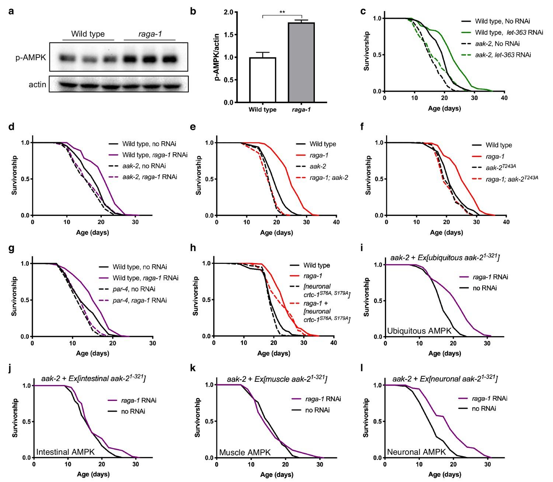 Figures and data in Neuronal TORC1 modulates longevity via
