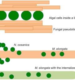 fungal algal symbiosis  [ 1500 x 1075 Pixel ]