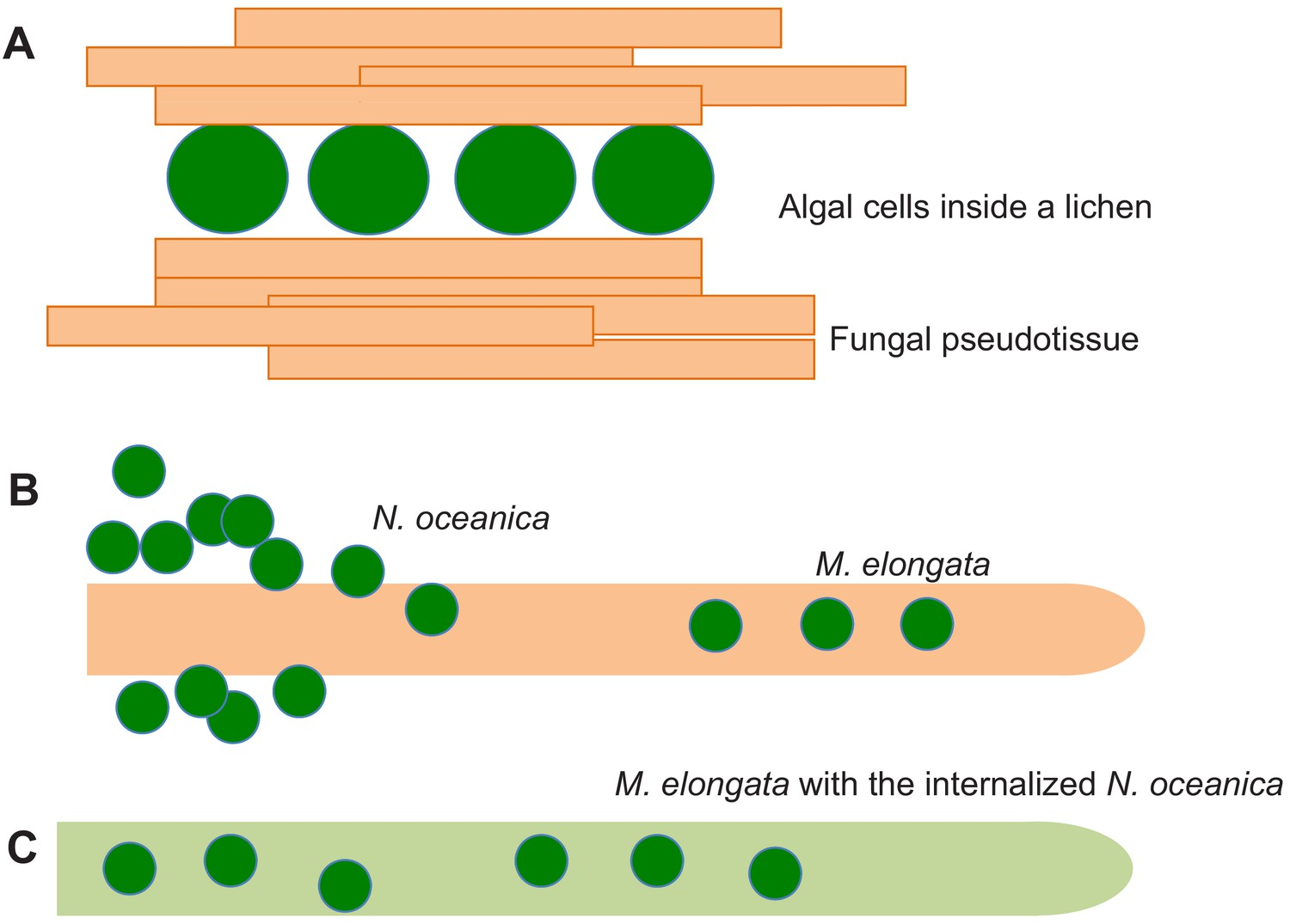hight resolution of fungal algal symbiosis