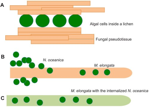 small resolution of fungal algal symbiosis