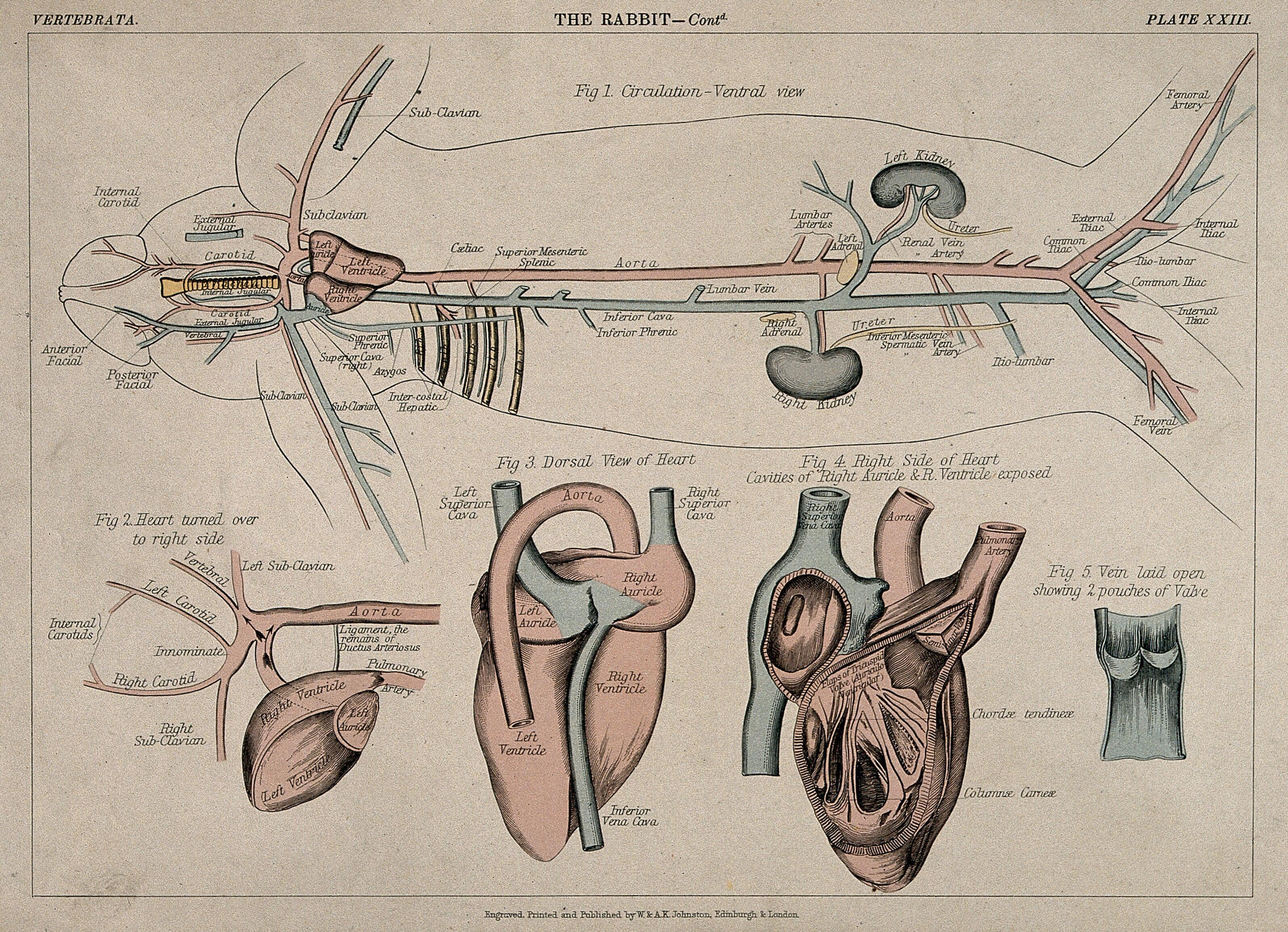 Vein Diagram With 3 Circulatory System Of A Rabbit Five Figures Including