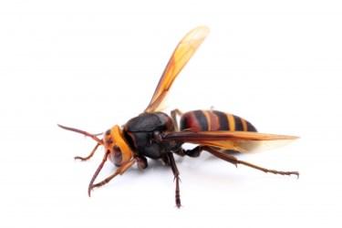 スズメバチの巣を駆除するのに、雨の日は適しているのか!?