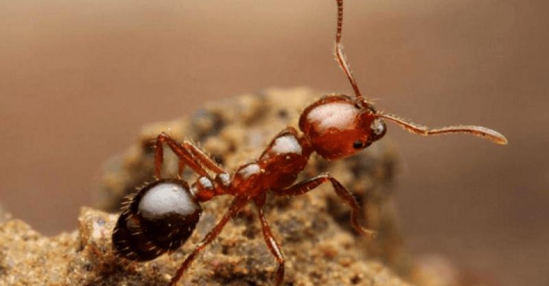 殺人アリ「ヒアリ(火蟻)」が日本上陸…だが日本にはヒアリの天敵がいた!!! | いいね!ニュース