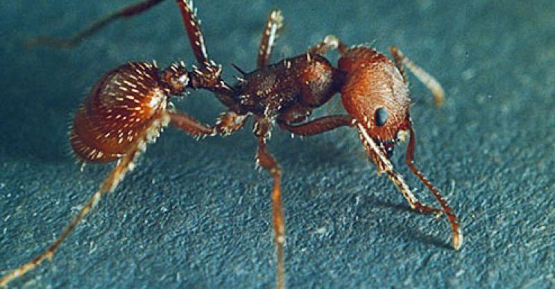 日本のアリ(蟻)は本當にヒアリ(火蟻)の天敵になれるのか!? | いいね!ニュース