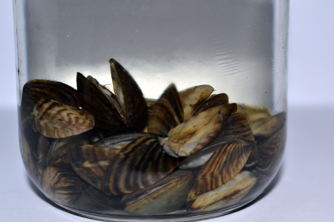 How Zebra Mussels Were Removed From Lake Winnipeg