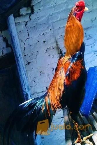 Jual Beli Ayam Bangkok Kediri : bangkok, kediri, Bangkok,