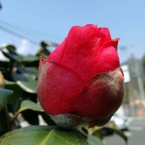 春椿もつぼみがかなり膨らんで来ました2枚目はムスカリのアップ。個人的に紫色が好きなのでついつい目が行きます今日は御岳もかなり暖かいので薄着です♪長袖じゃないのは今年初です #蔵 #筏 #ikada #japan #Tokyo #mitake #御岳 #御岳山 #mitakesan #御岳山ロックガーデン #武蔵御嶽神社 #多摩川 #御岳渓谷 #奥多摩 #ブドウ山椒 #おにぎり#tasty #バイク #ロードバイク #カヌー #カヤック #リバーSUP #デッドエンド #ジムニー #JA22 #ペット可  #春椿 #ムスカリ