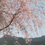 久々にブドウ山椒の電気柵の様子を店主の代わりに見に行ったら…しだれ桜が満開になっていました#蔵 #筏 #ikada #japan #Tokyo #mitake #御岳 #御岳山#mitakesan #御岳山ロックガーデン #武蔵御嶽神社 #多摩川 #御岳渓谷 #奥多摩 #ブドウ山椒 #おにぎり #tasty #バイク #ロードバイク #カヌー #カヤック #リバーSUP #デッドエンド #ジムニー #JA22 #ペット可 #しだれ桜