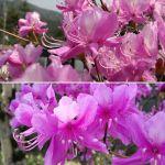4月4日現在・蔵の前に同時期に咲いているけれど、色合いも大きさも微妙に異なる二種のミツバツツジ どちらも美しいです #蔵 #筏 #ikada #japan #Tokyo #mitake #御岳 #御岳山#mitakesan #御岳山ロックガーデン #武蔵御嶽神社 #多摩川 #御岳渓谷 #奥多摩 #ブドウ山椒 #おにぎり #tasty #バイク #ロードバイク #カヌー #カヤック #リバーSUP #デッドエンド #ジムニー #JA22 #ペット可 #ミツバツツジ
