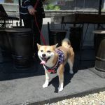 炭鳥ikadaのホームページをご覧になった方が #柴犬 のナナちゃんと一緒にお越し下さいましたナナちゃんは7歳の女の子ですお洋服の胸のリボンがよく似合っていて可愛いですねご来店ありがとうございましたhttp://ikadamitake.com営業時間11~17時(夏季)木曜定休(祭日は営業)#炭鳥 #蔵 #筏 #ikada #Tokyo #mitake #御岳 #御岳山 #mitakesan #御岳山ロックガーデン #武蔵御嶽神社 #多摩川 #御岳渓谷 #奥多摩フィッシングセンター #奥多摩 #ブドウ山椒 #おにぎり #味玉 #tasty #バイク #ロードバイク #カヌー #カヤック #リバーSUP #デッドエンド #アルパインクライミング #ジムニー #ペット可