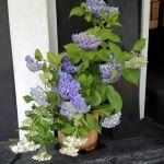 斜めお向かいさんに、今日は紫陽花を頂きました♪ミョウバンがないので切り口を焼きましたが、萎れ気味今朝は慌ただしいのでバサッと桶に入れただけですが、涼やかで可愛らしいので思わずアップしましたhttp://ikadamitake.com営業時間11~17時(夏季)木曜定休(祭日は営業)#炭鳥 #蔵 #筏 #ikada #Tokyo #mitake #御岳 #御岳山 #mitakesan #御岳山ロックガーデン #武蔵御嶽神社 #多摩川 #御岳渓谷 #奥多摩フィッシングセンター #奥多摩 #ブドウ山椒 #おにぎり #味玉 #tasty #バイク #ロードバイク #カヌー #カヤック #リバーSUP #アルパインクライミング #デッドエンド #ジムニー #ペット可 #紫陽花
