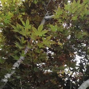 炭鳥ikadaの紅葉は、まだあと少しhttp://ikadamitake.com 営業時間11~17時(夏季)木曜定休(祭日は営業)※むかし鳥、ばくだんは数に限りがございます。1個からお取り置き致します♪Tel.0428-85-8726#炭鳥 #蔵 #筏 #ikada #むかし鳥 #mitake #tokyo #御岳 #御岳山 #御岳山ロックガーデン #武蔵御嶽神社 #多摩川 #御岳渓谷 #御岳ランチ #奥多摩フィッシングセンター #奥多摩 #日原鍾乳洞 #味玉 #バイク #ロードバイク #カヌー #カヤック #リバーSUP #ラフティング #デッドエンド #ペット可 #紅葉