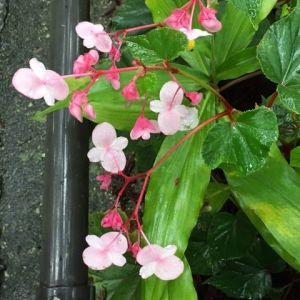 炭鳥ikadaから多摩川&御嶽駅方面へ行く坂道に、今年も #秋海棠 が咲いていますhttp://ikadamitake.com営業時間11~17時(夏季)木曜定休(祭日は営業)※むかし鳥、ばくだんは数に限りがございます。1個からお取り置き致します♪Tel.0428-85-8726#炭鳥 #蔵 #筏 #ikada #むかし鳥 #mitake #tokyo #御岳 #御岳山 #御岳山ロックガーデン #武蔵御嶽神社 #多摩川 #御岳渓谷 #御岳ランチ #奥多摩フィッシングセンター #奥多摩 #日原鍾乳洞 #味玉 #バイク #ロードバイク #カヌー #カヤック #リバーSUP #ラフティング #デッドエンド #ペット可 #シュウカイドウ #瓔珞草