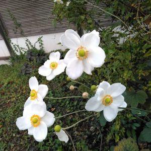 #秋明菊 が次々と咲いていました🤗秋の花は、たおやかで品がありますね http://ikadamitake.com営業時間11~17時(夏季)木曜定休(祭日は営業)※むかし鳥、ばくだんは数に限りがございます。1個からお取り置き致します♪Tel.0428-85-8726#炭鳥 #蔵 #筏 #ikada #むかし鳥 #炭鳥ikada #ばくだん #mitake #tokyo #御岳 #御岳山 #御岳山ロックガーデン #武蔵御嶽神社 #多摩川 #御岳渓谷 #御岳ランチ #奥多摩フィッシングセンター #奥多摩 #日原鍾乳洞 #味玉 #バイク #ロードバイク #カヌー #カヤック #リバーSUP #デッドエンド #ペット可 #シュウメイギク